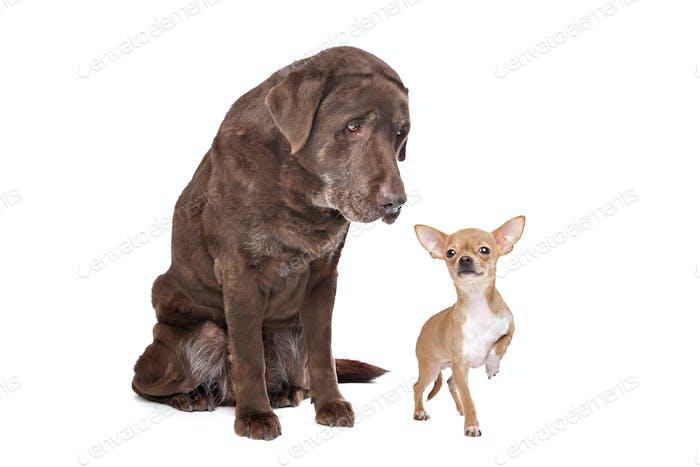 Labrador und Chihuahua