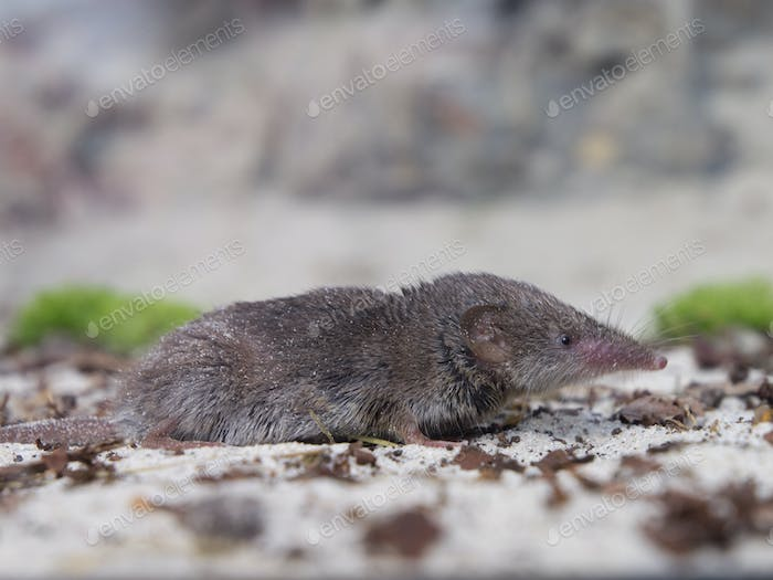 Greater white-toothed shrew (Crocidura russula)