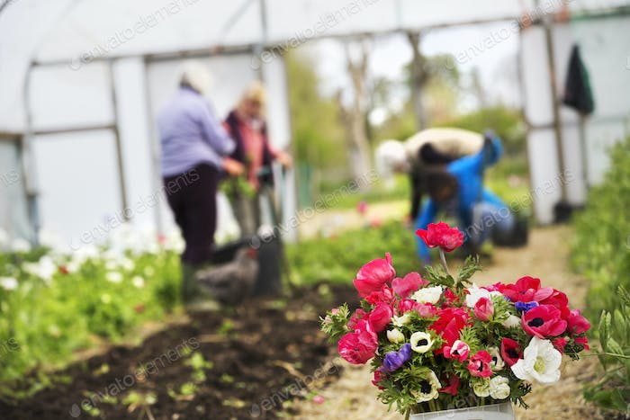 A posy of cut flowers. Three people working in a polytunnel.