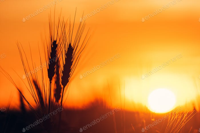 Barley ears in sunset