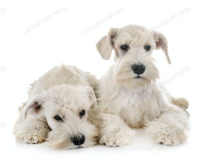 puppies white miniature schnauzer