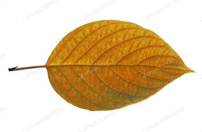 Birch Closeup Leaf Isolated On White Background.