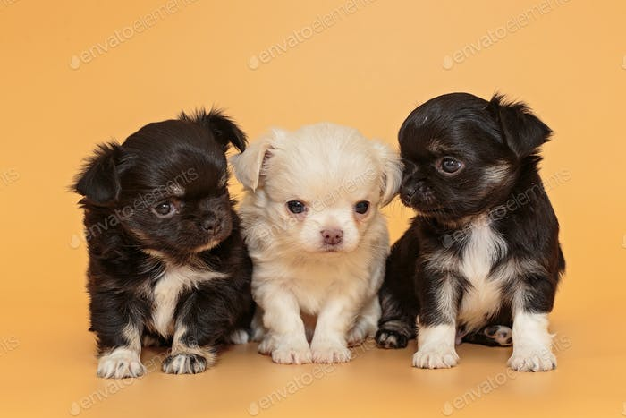 Three small Chihuahua puppies