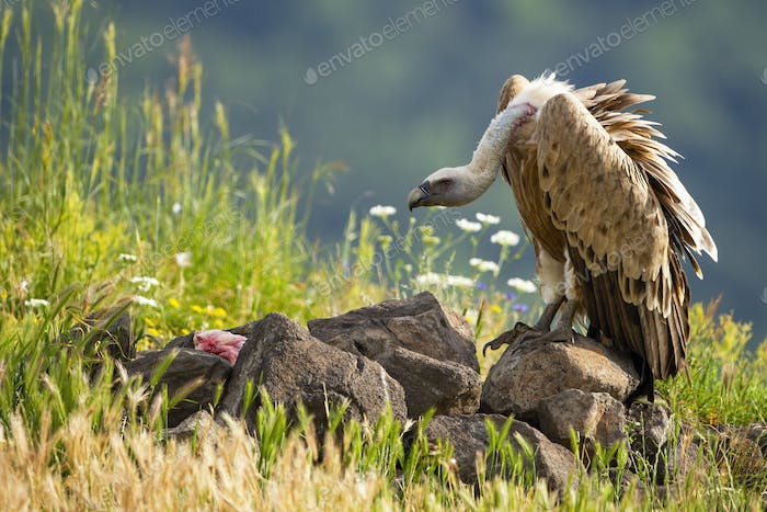 Griffon vulture feeding on meat in sunlit summer nature