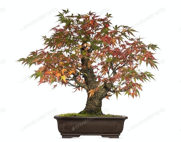 Acer japonicum bonsai tree, isolated on white