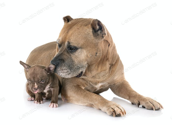 old american staffordshire terrier and puppy