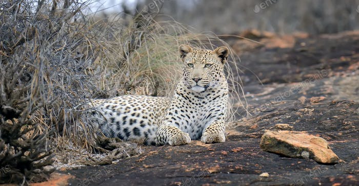 Close-up leopard in National park of Kenya