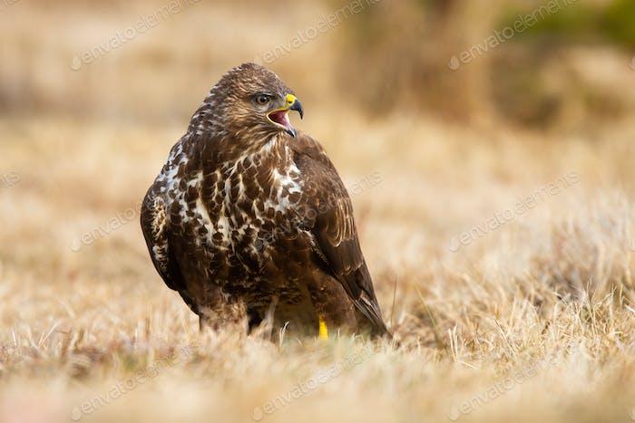Fierce common buzzard screeching on field in autumn
