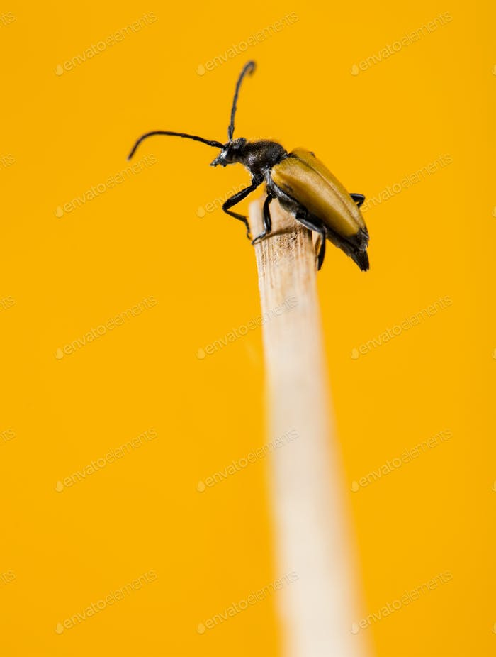 Soldier Beetle on a twig in front of an orange background