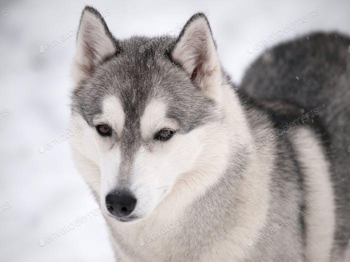 Husky dog outdoors