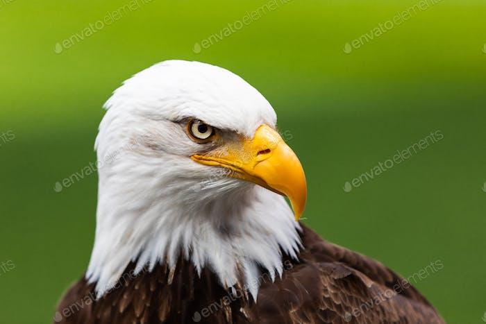 Haliaeetus leucocephalus eagle head