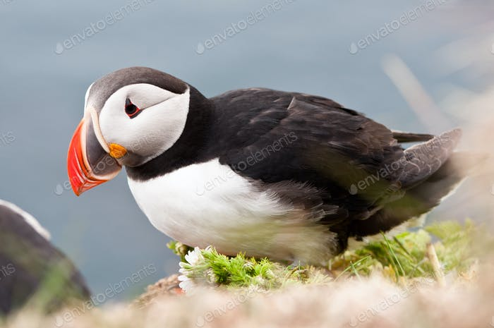 beautiful puffin bird nesting