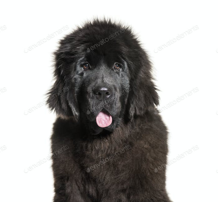 Newfoundland, 4 months old, in front of white background