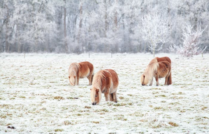 pony graze on snowy pasture