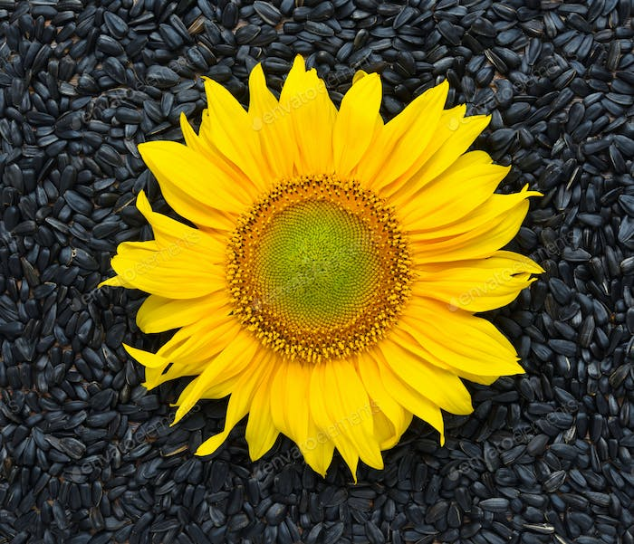 Sunflower with seeds. Top view