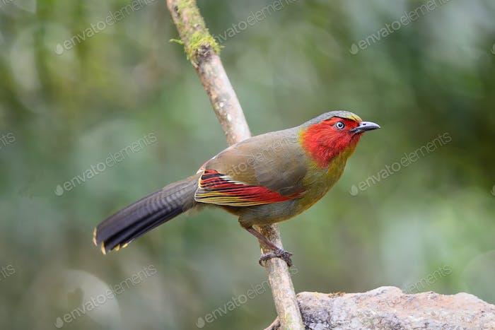 Rotgesichter Vogel, Scharlach Gesichter Liocichla
