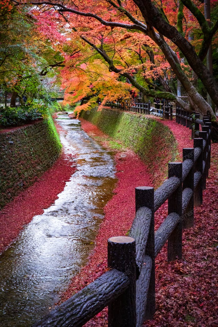Maple tree along the canal in Kitano Tenmangu garden, Kyoto, Japan