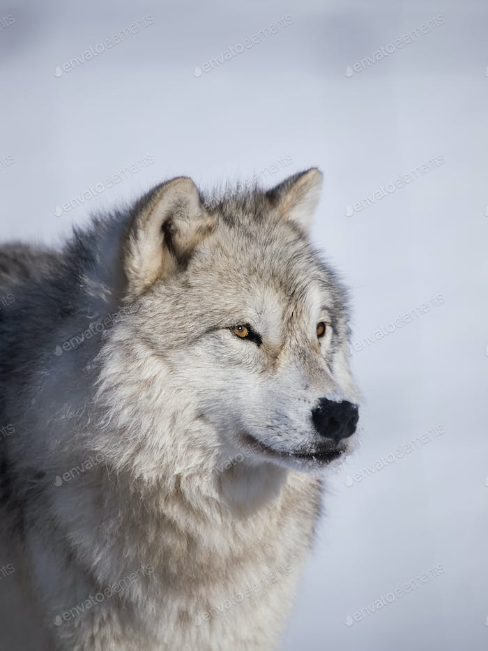 Wolf alpha male profile closeup