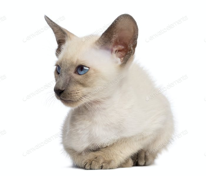 Oriental Shorthair kitten, 9 weeks old, lying and looking away against white background