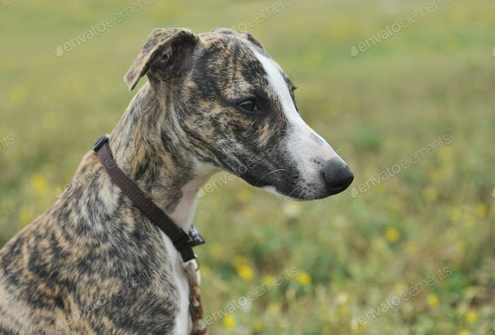 puppy whippet