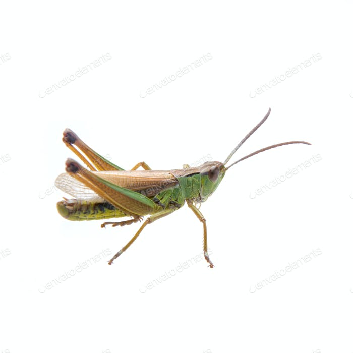 Green brown grasshopper on a white background