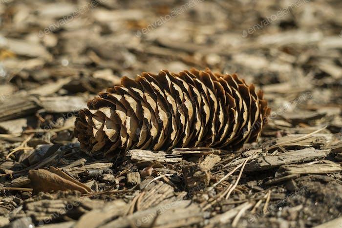 Fallen conifer cone