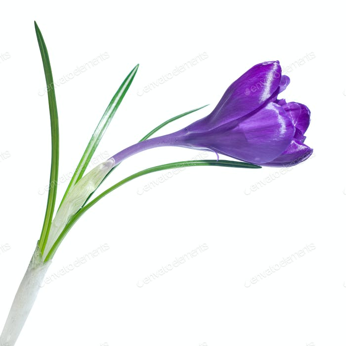 single crocus isolated on white