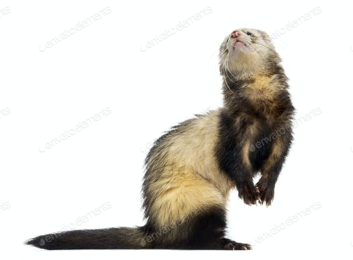 Ferret isolated on white