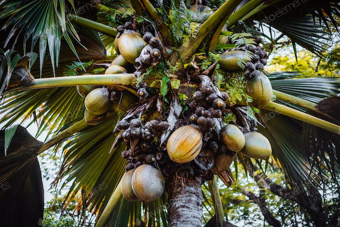 Close up of Lodoicea known as the coco de mer or double coconut. It is endemic to the islands of