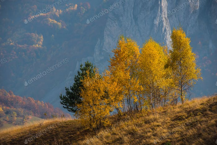 Birch trees at autumn on a hill