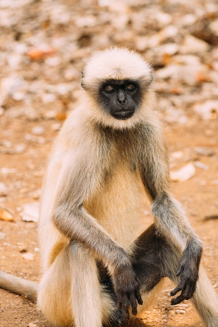Goa, India. Gray Langur Monkey Sitting On Ground. Monkey With Closed Eyes Relax Sitting