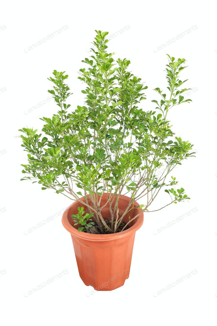 Aglaia odorata Pflanze