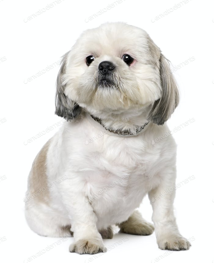 Shih Tzu (2 years old) sitting