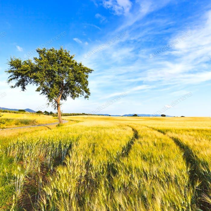 Weizenfeld Spuren, Baum und Himmel im Frühling. Ländliche Landschaft.