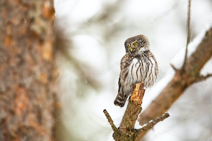 Eurasian pygmy owl sitting on twig in winter nature