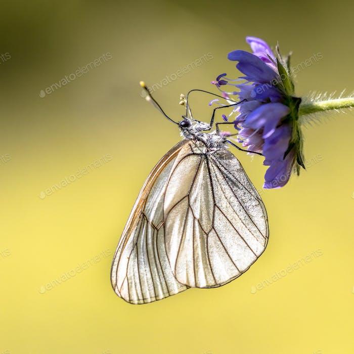 Schwarzer geäderter weißer Schmetterling