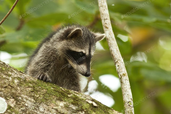 Young raccoon hiding on a branch of a tree and observing with interest