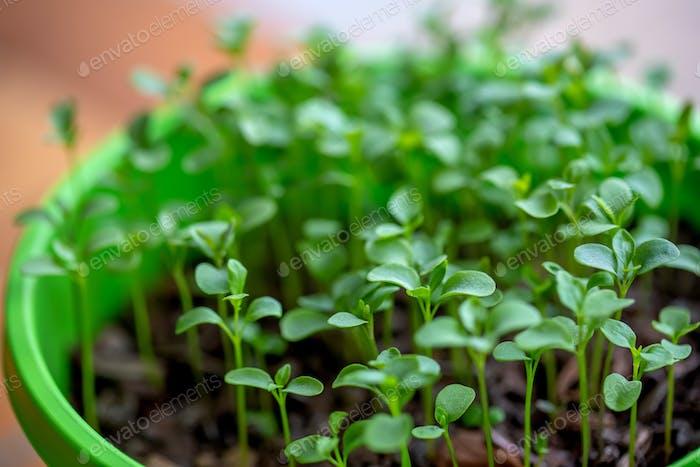 Microgreen growing in a green pot