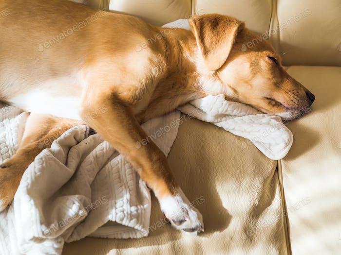Golden puppy sleeping on leather sofa