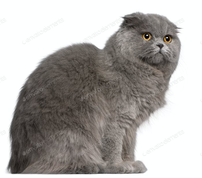 Scottish Fold cat, 11 months old, in front of white background