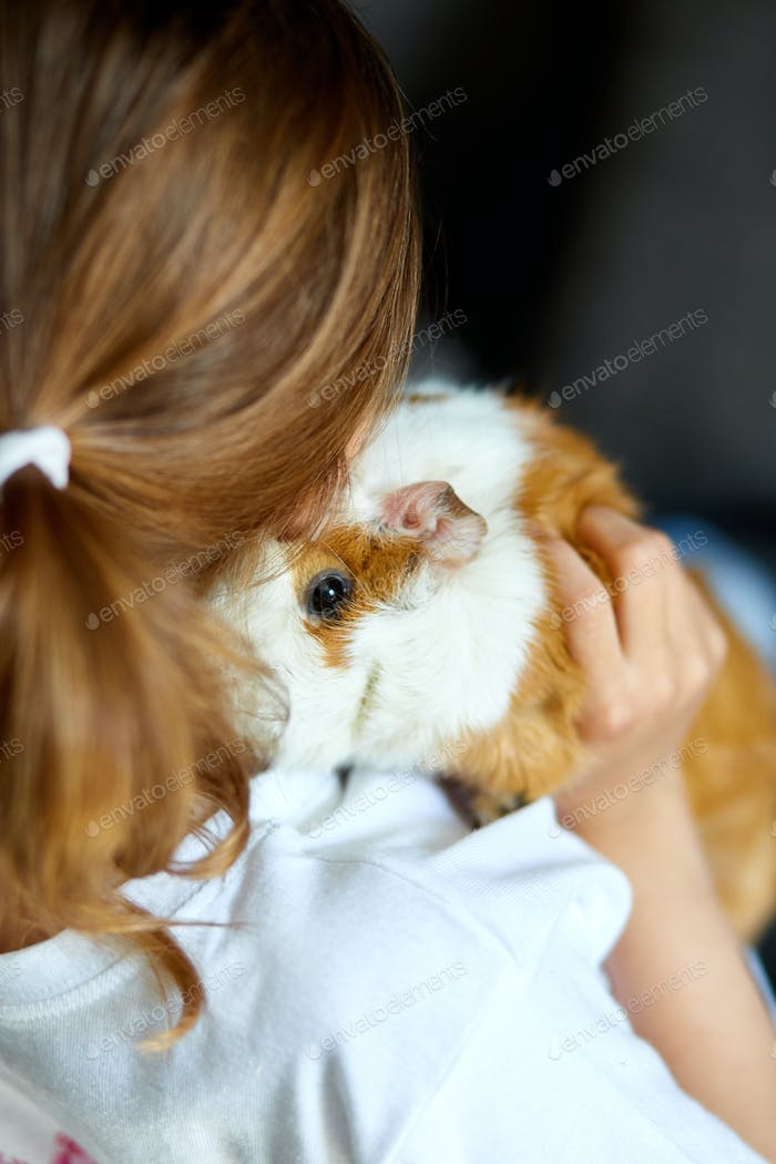 Child playing with guinea pig, stay quarantine time kid home.