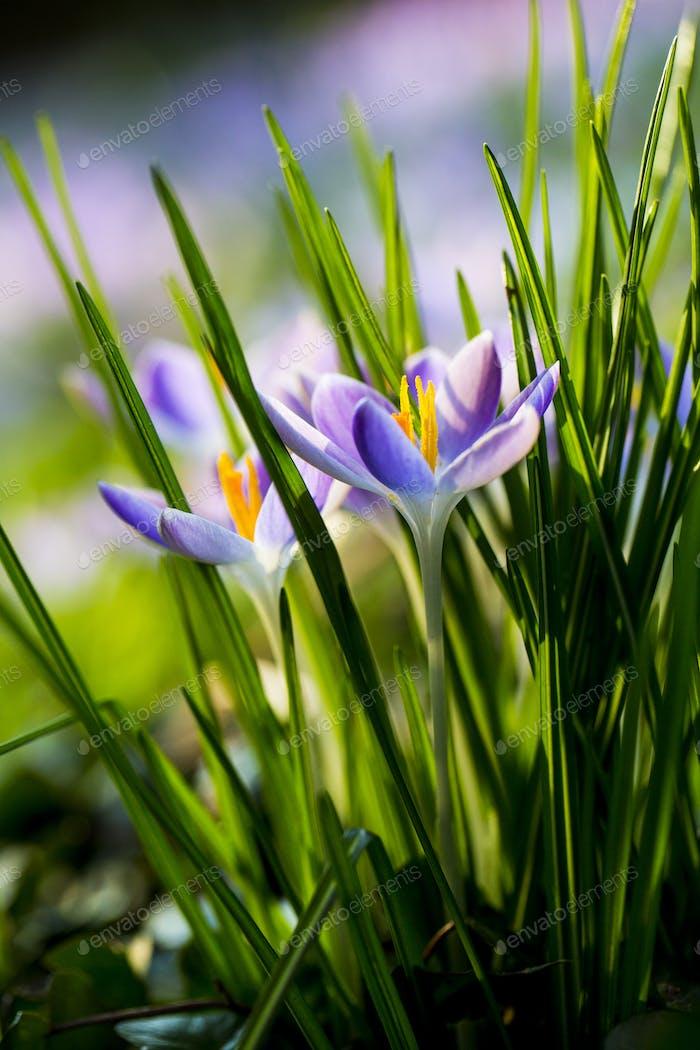 Nahaufnahme von hellvioletten Krokussen mit leuchtend gelben Staubblättern und grünen grasartigen Blättern.