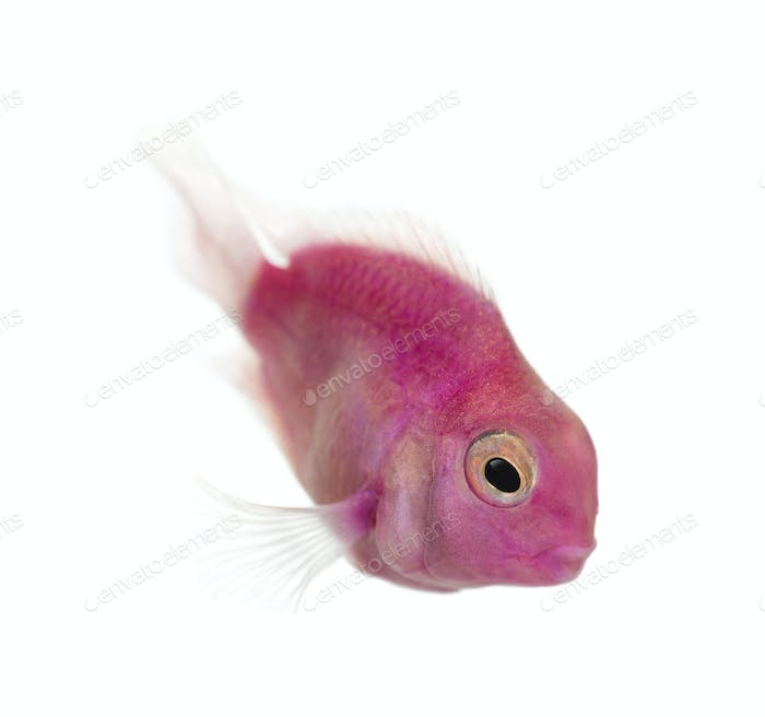 Pink fresh water fish swimming down, isolated on white