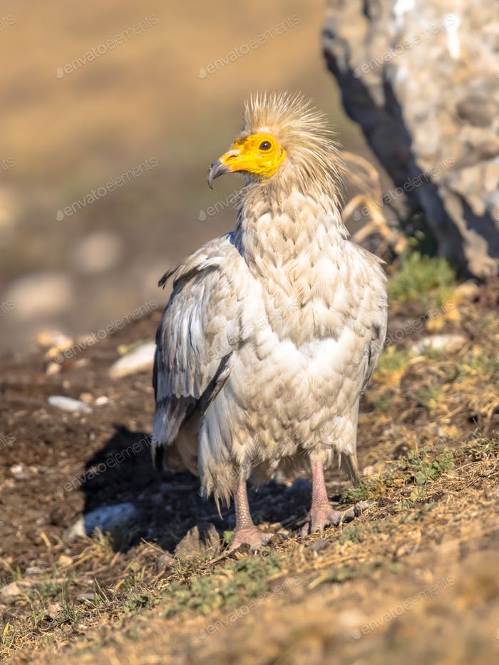 Egyptian vulture foraging
