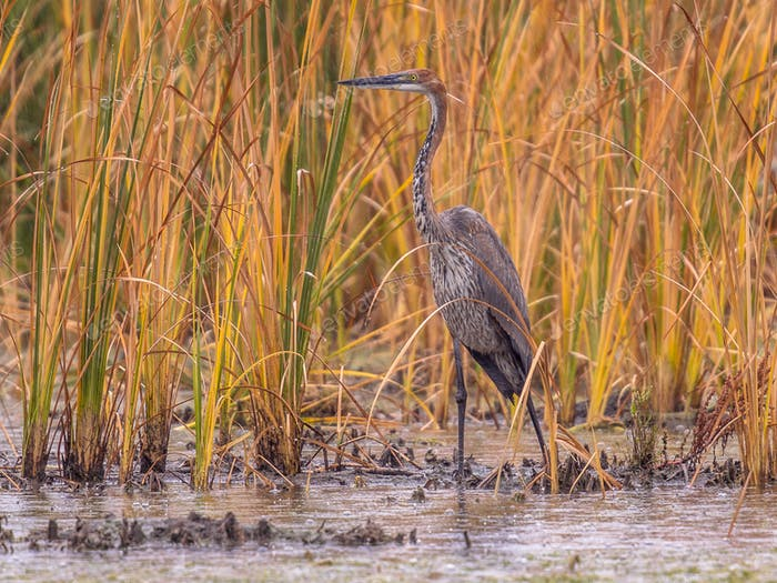 Goliath heron in reed habitat