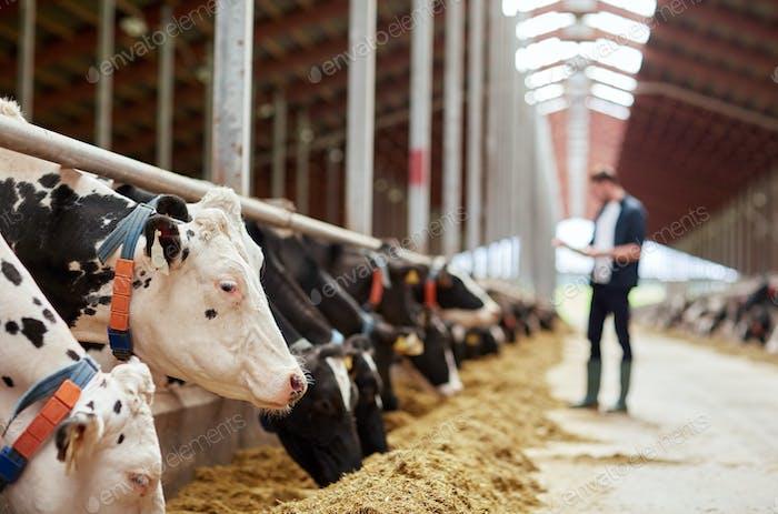 Herde von Kühen essen Heu in Kuhstall auf Milchfarm