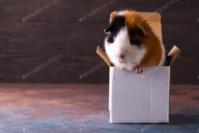 Teddy guinea pig climbing on box in front of dark stone background