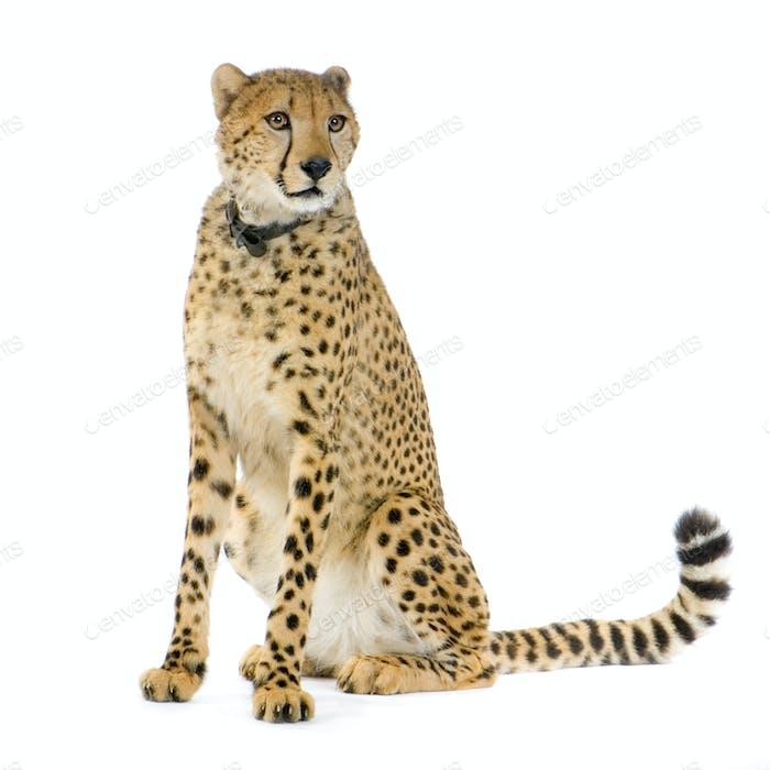 Gepard sitzend;
