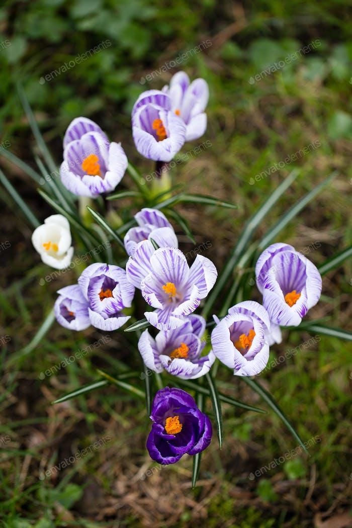 Krokusblüten. Eine Gruppe von Krokussen im Gras.