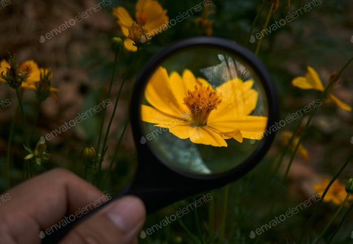Looking at a little yellow flower through a magnifying glass